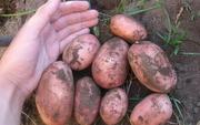 Картофель оптом урожай 2018