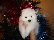 Впервые в Казахстане породистые щенки белоснежного японского шпица.