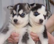 Голубоглазые Сибирский хаски щенки.