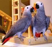 Африканский Серый попугай или краснохвостый Жако